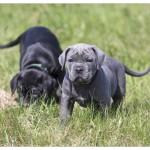 Antikdoggen vom Drachenfels
